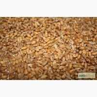 Куплю фуражну пшеницю. ГОТІВКА.Хмельницька обл