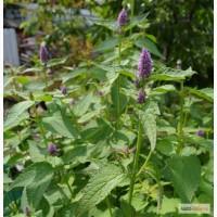 Продам насіння лофанту анісового