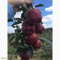 Продам яблука з власного саду (Голден, Ліголь, Айдаред, Конспур, Чемпіон, Принц.)