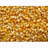 Продам кукурузу, в количестве 200 тонн, Киевская обл