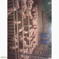 Продам, куплю свиней мясных пород