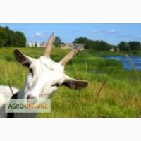 Продам коз живым вес, выпас, 40 голов
