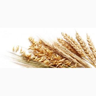 Закупаем пшеницу 2-фураж