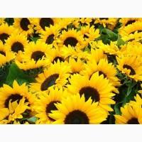 Насіння соняшнику – Армагедон, толерантний до Євро-Лайтнінгу