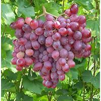 Продам столовые сорта винограда