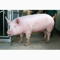 Продам мясо свиньи, барана, дикого кабана