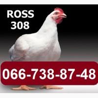 Инкубационное яйцо РОСС-308 (ROSS-308), РОС-708, Цыплята кур бройлеров