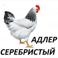 Цыплята Адлер Серебристый