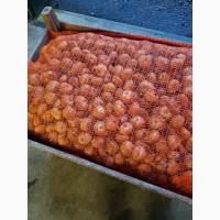 Продаю оптом луковицы тюльпанов