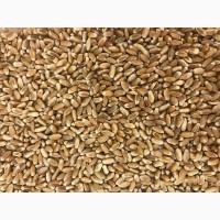 Закуповую зерно пшениці фуражної. По Житомирській області