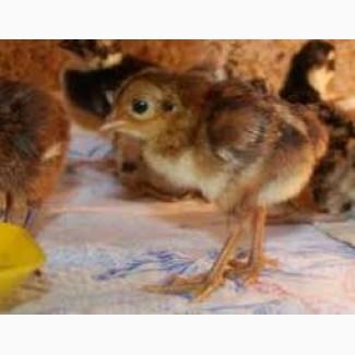 Цыплята фазана