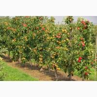 Продаем яблоки осенних и зимних сортов