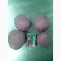 Продам товарну картоплю, сорт Ажур ОПТом (до 70т), Кобеляки