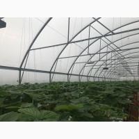 Продам органическую клубнику