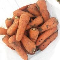 Продам морковь сортов Абако, Кордоба