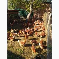 Продам домашні курині яйця 40грн