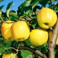 Продам САЖЕНЦЫ яблонь (2-х летние) от производителя