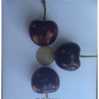 Черешня с охлаждением, абрикос оптом, черешня в Беларусь, черешня в Польшу