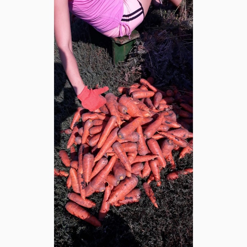 Продам отличную морковку сорт Боливар, Харьковская обл.