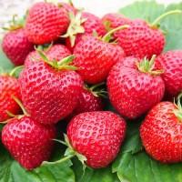 Полуниця Зенга Зенгана(Senga Sengana Strawberry) саджанці полуниці Фріго