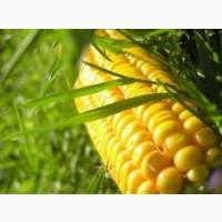 Насіння кукурудзи гібрид Вакула