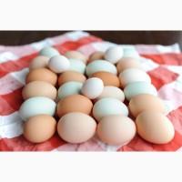 Яйца куриные, яичный порошок купить Днепр