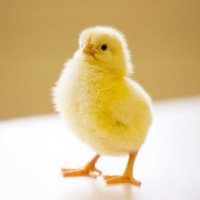 Продам суточні курчата бройлерів та мясояєчні