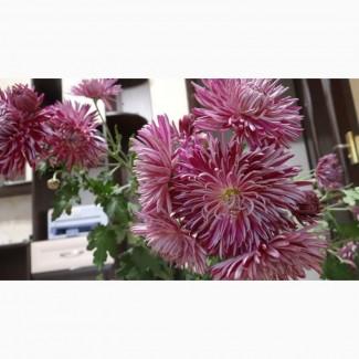 Продам садовую хризантему