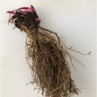 Эхинацея пурпурная корни 1 кг