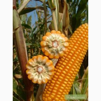 Гібриди кукурудзи Гран 220, Гран 310, Гран5, Амарок