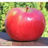 Саженцы яблони саженцы плодовых деревьет от 1 до 5 лет купить в Киеве