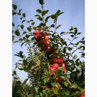 Красивые яблоки от производителя сортов Гала, Чемпион, Лигол, Голден, Декоста, Фуджи