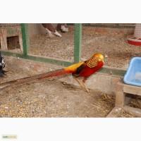 Домашні фазани, фазани на вибір