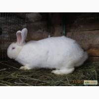 Кролики породы Белый Паннон
