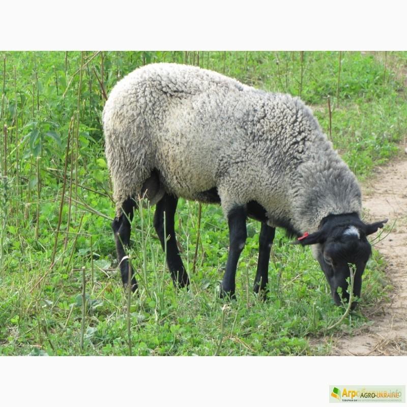 Продаю овец мясных пород живым весом с откорма.