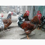 Пропоную інкубаційне яйце(молодняк) курей полтавська ситцева