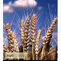 ТОВ ФЕРКО купує на постійній основі пшеницю, кукурузу