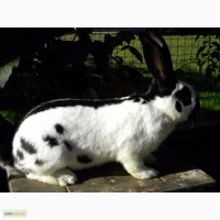 Продам племенні кролики породи Німецький Строкатий Велетень ( Строкач )