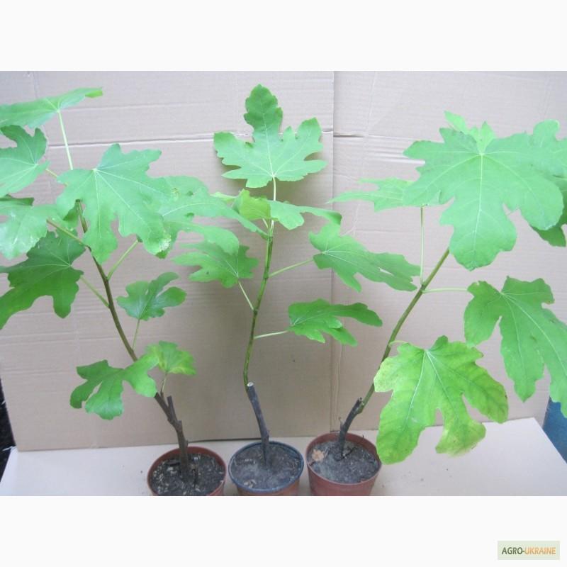 киви фото растение