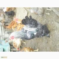 Продам добових курчат Запорізька область