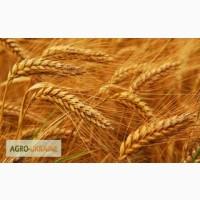Закупаем пшеницу 2 класса