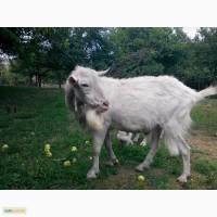 Продам чистопородного зааненского козла 2 года