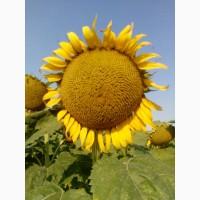 Семена подсолнечника Рими Нови Сад под Евролайтинг