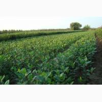 Продам саженцы черноплодной рябины (арония)