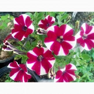 Продам декоративні, балконні квіти