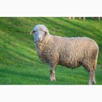 Продам овечок (ярок та маток)породи меринос