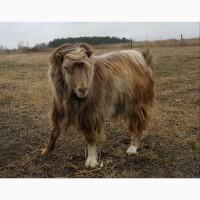 Продам коз породы ЛАМАНЧА