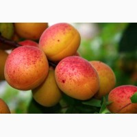 Продам абрикос в большие кол-вах