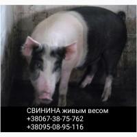 Продам свиней живой вес, цена договорная