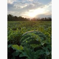 Продам арбуз урожая 2018 года